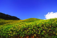 Yellow flower hill. In Maehongsorn province, thailand Stock Photo