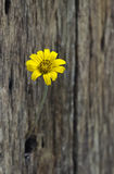 Yellow flower in hole old wooden fence. Background Royalty Free Stock Photography