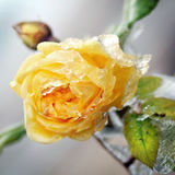 Yellow flower with ice Stock Images