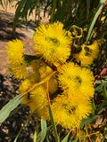 Yellow flower of Illyarrie Red capped gum, Helmet nut gum, mal royalty free stock photos