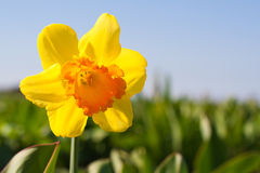 Yellow Flower In A Field - Narcissus Stock Image