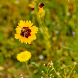 Yellow flower with insect. Yellow flower with dark centre and insect in green field Stock Photo