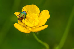 Yellow flower with insect. Particular of a yellow flower with insect royalty free stock photography