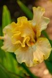 Yellow flower iris Stock Image