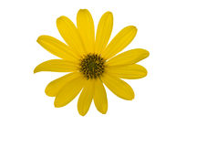 Yellow flower isolated on white background Royalty Free Stock Image