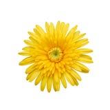Yellow Flower Isolated on white Stock Photos