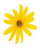 Yellow flower. Isolated on a white background Royalty Free Stock Photography