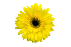Yellow flower isolated on white background. ม with clipping path Stock Photography