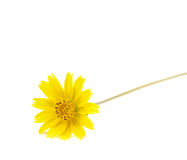 Yellow flower isolated on white background. Beautiful yellow flower isolated on white background royalty free stock image