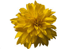 Yellow flower isolated on white background, clipping path Royalty Free Stock Photo