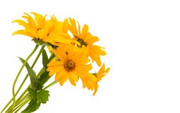 Yellow flower isolated Stock Image