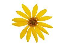Yellow flower on white royalty free stock photo