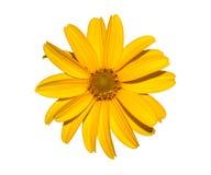 Yellow flower isolated on white, calendula. Stock Image