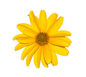 Yellow flower isolated on white, natural calendula. Stock Images