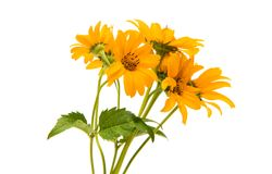 Yellow flower isolated Stock Images