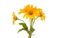 Yellow flower isolated Stock Photos