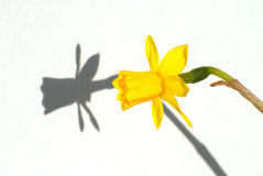 Yellow Flower and its shadow royalty free stock photo