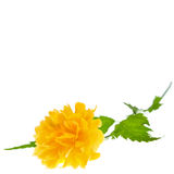 Yellow flower of Japanese kerria Stock Photography
