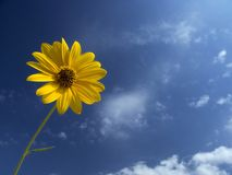 Yellow flower of Jerusalem artichoke. Jerusalem artichoke flower under a blue sky with white clouds Stock Photos