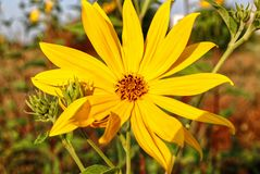 Yellow flower of Jerusalem artichoke Royalty Free Stock Photography