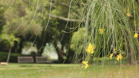Yellow flower of Jerusalem thorn tree with bench at public park background stock video footage