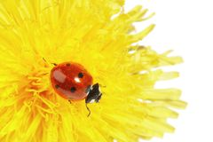 Yellow flower with ladybug Stock Images