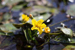 Yellow flower of lake plant Nymphoides peltata. Synonym Villarsia nymphaeoides Royalty Free Stock Images