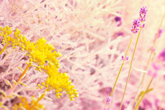 Yellow flower and lavender Stock Images
