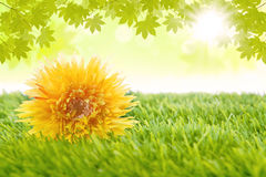 Yellow flower laying on the grass Royalty Free Stock Photography