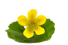 A yellow flower on a leaf. From the forest isolated on white background royalty free stock photos