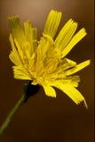 Hispidus hieracium sylvaticum. Yellow flower  leontodon autumnalis composite leontodon hispidus hieracium sylvaticum Stock Images