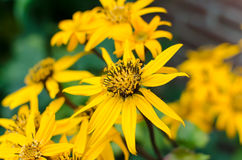 Yellow flower Ligularia Dentata Orthello Royalty Free Stock Photo