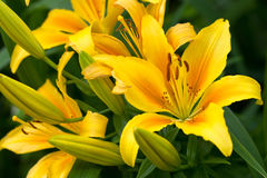 Yellow flower of lily Stock Images
