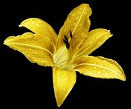 Yellow flower  lily on the black isolated background with clipping path  no shadows. Lily after the rain with drops of water on th Royalty Free Stock Photos