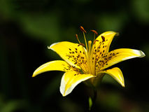 Yellow flower of the  lily Royalty Free Stock Image