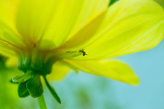Yellow flower and little ant. Macro shot of a beautiful yellow flower and little ant trying to climb on a petal Royalty Free Stock Photography
