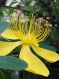 Yellow flower with long yelow pistils,. Photograph taken of a flower in a garden, nature, delicate flower with yellow petals with long pistils and yellow color Royalty Free Stock Image