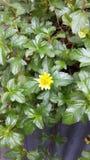 Yellow flower. Look good feel Stock Photos