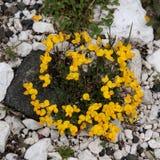 Yellow flower. Lotus Corniculatus (Meadow Vetchling Stock Image