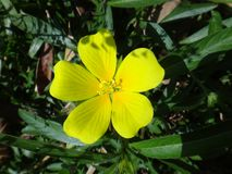 Yellow flower of Ludwigia Royalty Free Stock Images