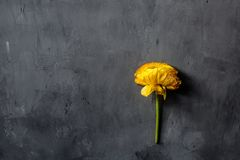 Yellow flower lying on gray concrete background. Flat lay. Top view. Copy space for text royalty free stock image