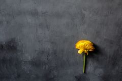 Yellow flower lying on gray concrete background. Flat lay. Top view. Copy space for text stock photography