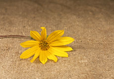 Yellow flower lying on the tablecloth Royalty Free Stock Photography