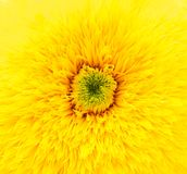 Yellow flower macro Royalty Free Stock Photo