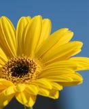 Yellow flower macro. Blue sky background Stock Photo