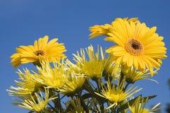 Yellow flower macro. Yellow flowers macro blue sky background Royalty Free Stock Photos