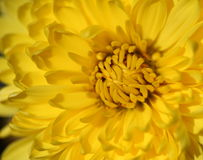 Yellow flower macro. A macro closeup of a beautiful yellow flower with elegant petals and pollen on the petals Stock Photos