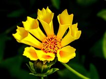 Yellow Flower in Macro Lens Photography Stock Photography