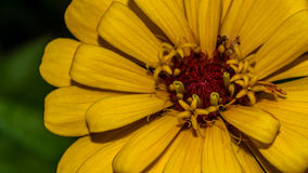 Yellow flower. Macro made outside my grandparents house Royalty Free Stock Images