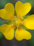 Yellow flower macro photo in rainy day. Stock Photography